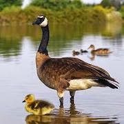 к чему снятся утки и гуси