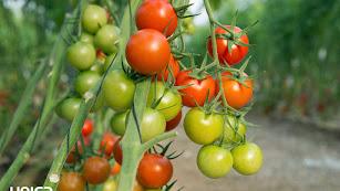 El tomate cherry es uno de los productos que ParqueNat aportará al contingente de Unica.