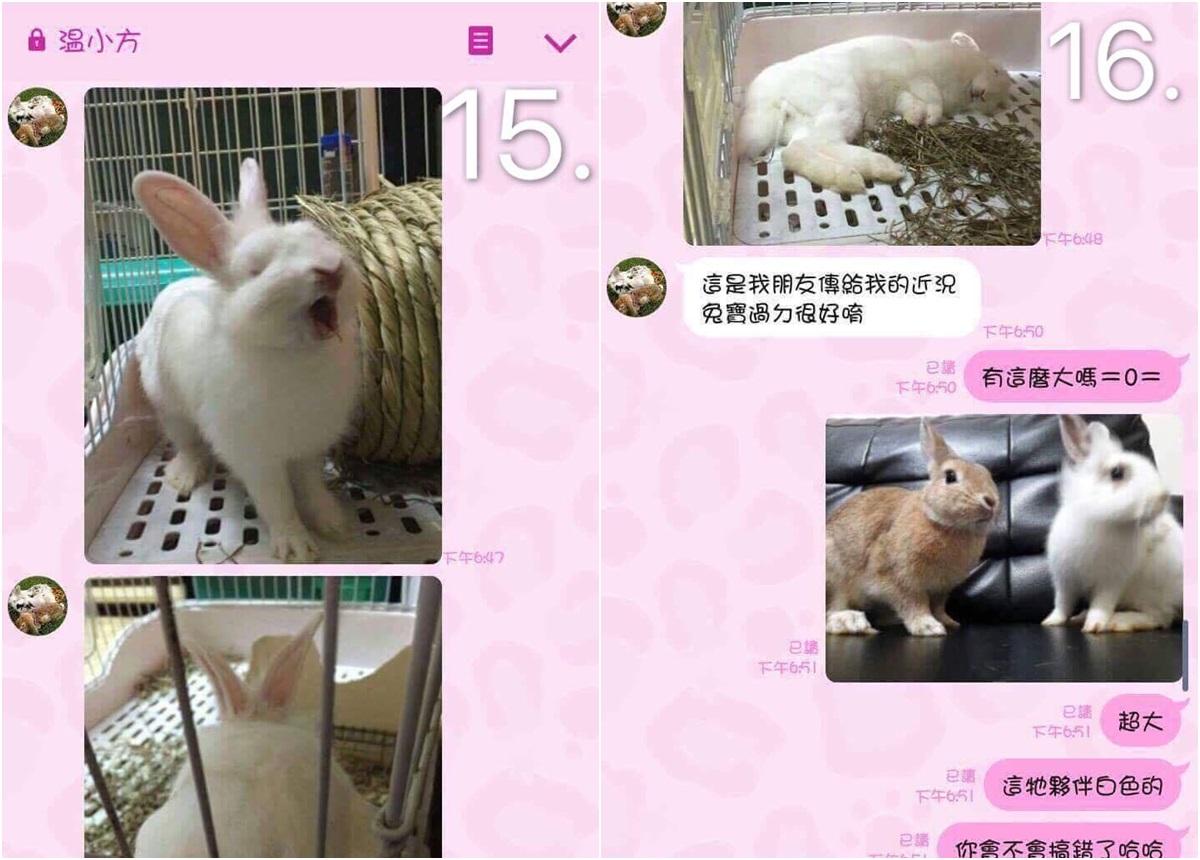 「龐龐」的照片被溫女盜用回報給送養人,但龐龐也是救援而來的兔子,在兔圈小有名氣,被送養人的朋友一眼認出,轉告飼主王小姐。 台灣愛兔協會/提供