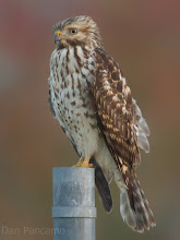 Photo: Red-sholdered Hawk