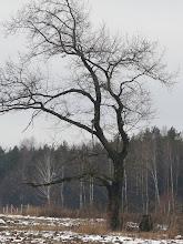 Photo: Одинокий дуб