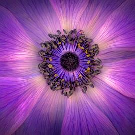 Radiant by Mark Ritter - Flowers Single Flower ( macro, purple, flora, anemone, garden, closeup, flower, floral,  )