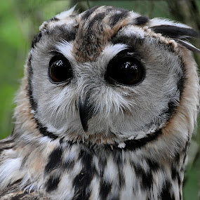 Mexican striped Owl by Ita Martin - Animals Birds (  )
