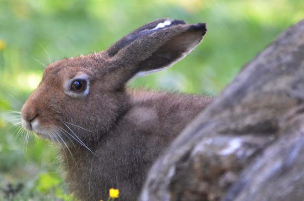 sguardo di coniglio di aeglos