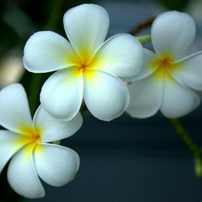 Trio by Kaniz Khan - Flowers Tree Blossoms (  )