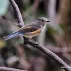 紅脇藍尾鴝 Red-flanked Bluetail-female