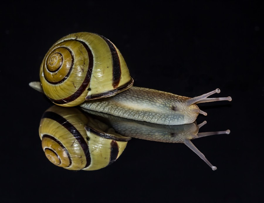 Snail Macro by Dan Jacobsen - Novices Only Macro ( mirror, shell, reflection, macro, yellow, snail, antenna, black )
