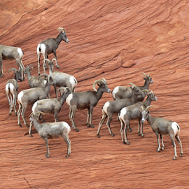 Group of Desert Big Horn Sheep by Tony Huffaker - Animals Other Mammals ( big horn sheep, nevada, mammal, animal, desert, park )