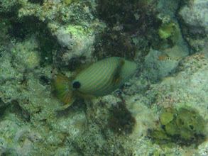 Photo: Balistapus undulatus (Orange-lined Triggerfish), Siquijor Island, Philippines