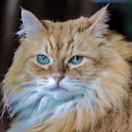 by Keith Sutherland - Animals - Cats Portraits ( ksutherland )