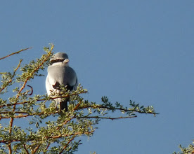 Photo: Averla maggiore meridionale - Lanius meridionalis - Southern Grey Shrike