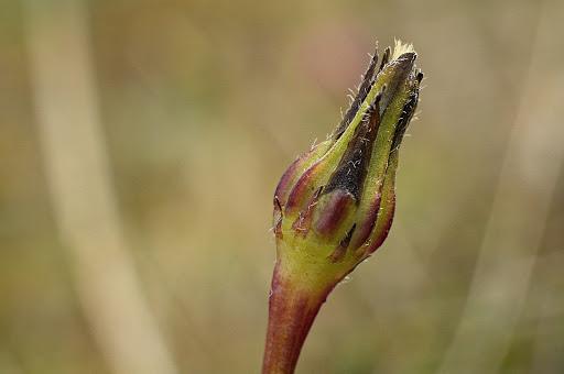 Leontodon saxatilis