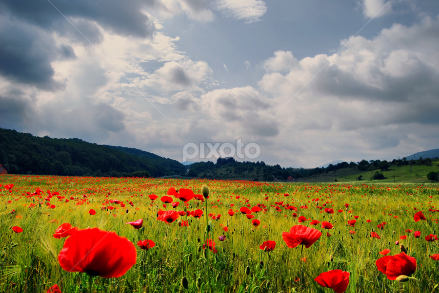 The strangers in the Rye by Marina Knezevic- Diklic - Nature Up Close Flowers - 2011-2013 ( wild poppies, nature, flowers, landscape, rye )