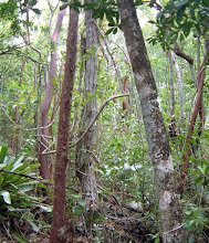 Photo: West Indian Cedar - Cedrela odorata, Critically Endangered, Family: MELIACEAE and  (at left) Old George – Hohenbergia caymanensis, Critically Endangered Grand Cayman endemic, Family: BROMELIACEAE.  Ironwood Forest, photo: Ann Stafford, Nov.18, 2002