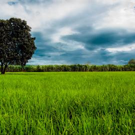 The beautiful field  by Fawad Hashmi - Landscapes Prairies, Meadows & Fields ( field, tree, clouds )