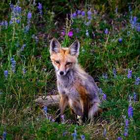 Mountain Fox by Evver Gonzalez - Animals Other Mammals ( flowers, mountains, evver g photo, nature, silverthorne, american west, sony alpha, wild camping, colorado, twilight, fox, summer, continental divide, grass, plants, alpine, backpacking, rocky mountain, wild flowers, travel, rocky mountain national park, cute animal, blue flowers, wildlife )
