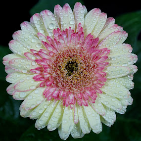 White and Pink Gerbera Wet by Gillian James - Flowers Single Flower ( pink, white, gerbera, flower, water drops )