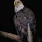 Bald Eagle 029.jpg