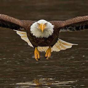 Bald Eagle by Herb Houghton - Animals Birds ( bird of prey, eagle, head on, bald eagle, raptor )