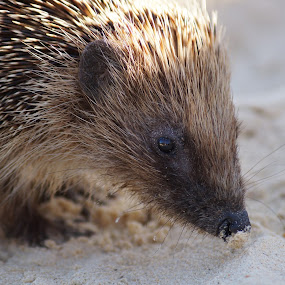 Hedgehog on the beach by Aram Becker - Animals Other Mammals ( hedgehog, snad, beach, cute, close-up, animal )