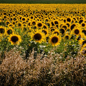 by Sarah King - Landscapes Prairies, Meadows & Fields ( pwcsummer, world_is_yellow )