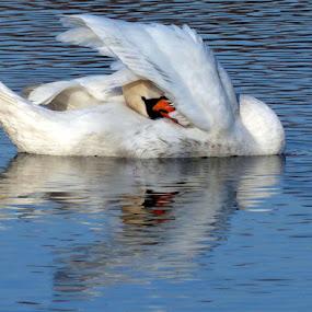 by Jasminka Lunjalo - Animals Birds ( swan )