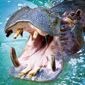Say Ahhhhhh by Scott Turnmeyer - Animals Other Mammals ( water, hippo, mouth, teeth )