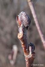 Photo: Speckled alder bud