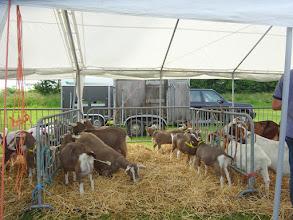 Photo: Inzending toggenburger geiten van fam. den Braber.