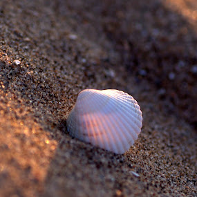shell by Nick Hogg - Artistic Objects Other Objects ( sand, macro, sunlight, shell, beach )