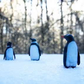 Plastic Pens -2 by Jeff Dugan - Animals Other ( winter, cold, snow, penguins )
