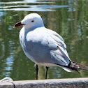 Audouin's gull. Gaviota de Audouin