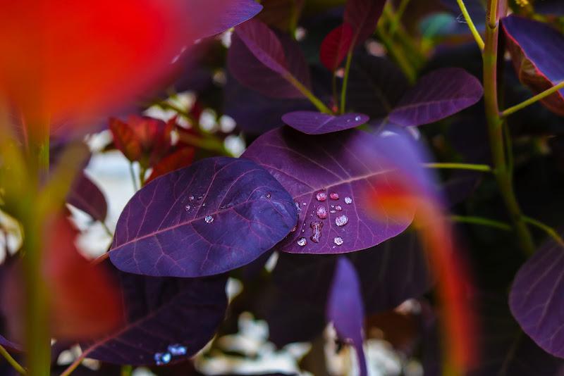 foglie viola di elyrgl