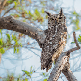 Spotted Eagle Owl by Warren Hanna - Novices Only Wildlife ( spotted, eagle, south africa, owl, wildlife )