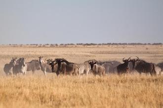 Photo: Wildebeest and Burchell's zebra in the dust of Makgadikgadi NP / Pakůň v oblaku prachu národního parku Makgadikgadi