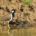 Lapwing  -  Red-wattled Lapwing