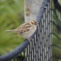House Sparrow♀