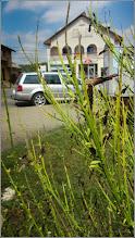 Photo: Str. Andrei Muresanu, spatiu verde, Matura comuna (Cytisus Scoparius Lena) - 2017.08.08