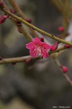 Photo: 梅と庭木の無料相談、そして、(紅千鳥、2014,03,01)