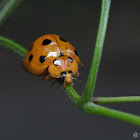 Large orange lady beetle