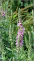 Photo: Răchitan ( Lythrum salicaria) - de pe Str. Gelu, pe malul Paraului Racilor - 2017.07.01 Album diverse: http://ana-maria-catalina.blogspot.ro/2017/05/plante-diverse-din-comert.html - în Turda.