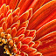 Gerbera Daisy by Eric Gaston - Nature Up Close Flowers - 2011-2013 ( orange, macro, daisy, flower )