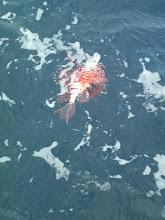 Photo: 水面でバレた・・・ミノカサゴ。 サヨウナラ・・。