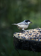 Photo: Bird N°10 Coal Tit - Periparus ater britannicus The Coal Tit, Periparus ater, is a passerine bird in the tit family Paridae. It is a widespread and common resident breeder throughout temperate to subtropical Eurasia and northern Africa.  Description The Coal Tit is 10–11.5 cm in length, and has a distinctive large white nape spot on its black head. The head, throat and neck of the adult are glossy blue-black, setting off the off-white sides of the face (tinged grey to yellow depending on subspecies) and the brilliant white nape; the white tips of the wing coverts appear as two wingbars. The underparts are whitish shading through buff to rufous on the flanks. The bill is black, the legs lead-coloured, and irides dark brown. The young birds are duller than the adults, lacking gloss on the black head, and with the white of nape and cheeks tinged with yellow.Subspecies The British race Periparus ater britannicus has an olive hue to its brownish-grey back plumage, distinguishing it from the continental European nominate subspecies Periparus ater ater and Periparus ater abietum in which the back is bluish grey without a hint of green or brown. The Irish race Periparus ater hibernicus is distinguished from britannicus by the pale sulphur-yellow cheeks, breast and belly. It also has a paler rump (due to light fringes of the uppertail coverts) and a larger bill than its relatives from Britain and the Continent.  Ecology The Coal Tit is an all-year resident throughout almost all range, making only local movements in response to particularly severe weather; only the Siberian birds have a more regular migration. Very rarely, vagrants may cross longer distances; for example the nominate subspecies of continental Europe was recorded in Ireland once in 1960 and once before that, but apparently not since then. Coal Tits will form small flocks in winter with other tits. This species resembles other tits in acrobatic skill and restless activity, though it more frequently pitch