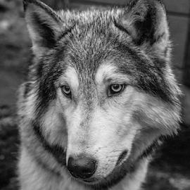 Wolfdog by Garry Chisholm - Black & White Animals ( wolf, nature, mammal, canine, dog, garry chisholm )