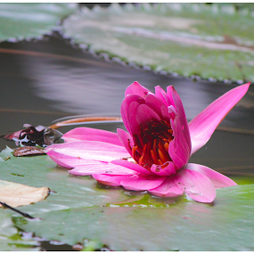 Blooming Lotus by Arunkumar Boyidapu - Nature Up Close Flowers - 2011-2013 ( water, lotus, blooming, pink, leaves )