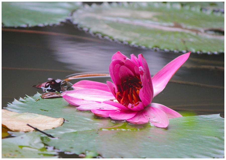 Blooming Lotus by Arunkumar Boyidapu - Nature Up Close Flowers - 2011-2013 ( water, lotus, blooming, pink, leaves )