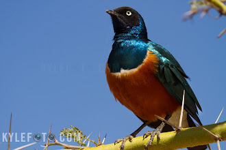 Photo: Superb Starling