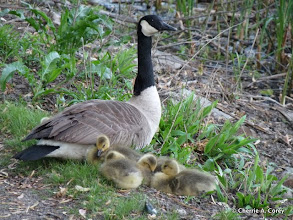 Photo: Canada goose family bedding down