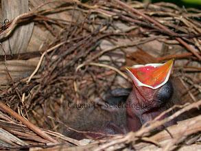 Photo: Orange-billed Nightingale Thrush